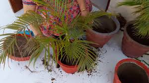 areca palm how and when to repot areca palm youtube