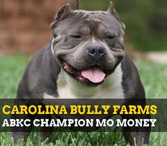 land of giants american pitbull terriers bully pitbulls for sale carolina bully farms