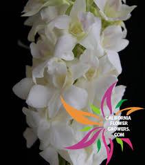 dendrobium orchids san diego florist u0026 carlsbad florist flower