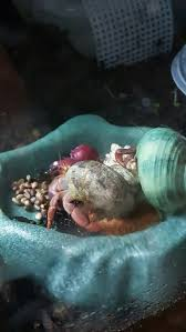 Halloween Hermit Crab by 670 Best My Boys Hermit Crabs Images On Pinterest Hermit Crabs