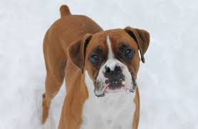 boxer 7 reasons we love boxers u2014 cute dog breed photos