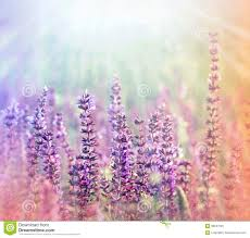 wild flowers in wild meadows meadow purple flowers illuminated by sunlight royalty free stock