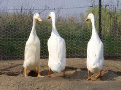 indian runner ducks runner ducks