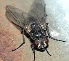 comment faire partir des moucherons dans une cuisine nhe mouches et moucherons mode de vie et méthode d élimination