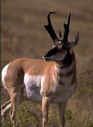 Wyoming wild animals images 37 best animals antelope images wild animals jpg