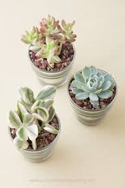 cute succulents cheap and easy diy succulent wedding favors succulents and sunshine