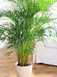 bamboo palm bedroom plant relaxing indoor plant air purifier