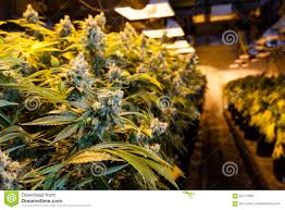 marijuana in a grow room under lights stock image image 64717659