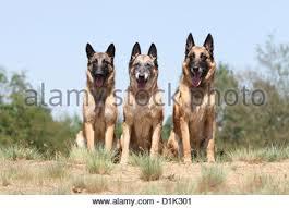 belgian shepherd lakenois dog belgian shepherd malinois three puppies sitting on the sand