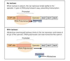 the trp operon article gene regulation khan academy