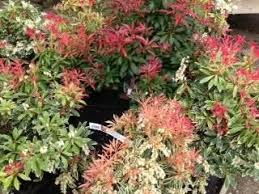 All Year Flowering Shrubs - 45 best garden ideas images on pinterest garden ideas