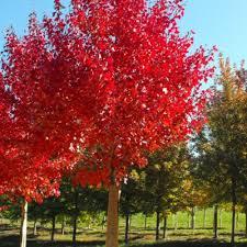 acer rubrum autumn bareroot trees scotplants direct