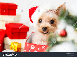 cute sitting yorkshire terrier puppy dog stock photo 154650551