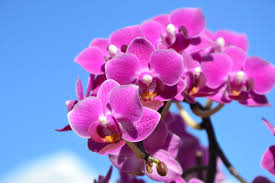 blue and purple orchids free images blossom petal pink flora blue sky purple flower