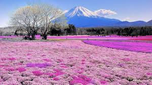 Flower Field Wallpaper - 1920x1080 pink flower field mount fuji desktop pc and mac wallpaper