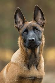 belgian shepherd breeds best 25 belgian malinois dog ideas that you will like on