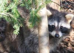 Raccoons In Backyard Raccoon Nys Dept Of Environmental Conservation