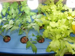 file aeroponics tomato and lettuce jpg wikimedia commons