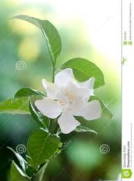 white common gardenia or cape jasmine flower stock photo image