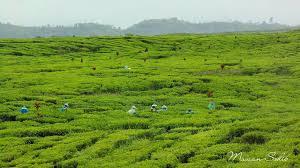 Teh Kayu Aro inilah perkebunan teh kayu aro jambi yang sangat mempesona piknikdong