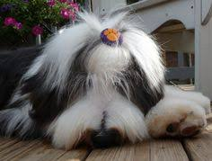 bearded collie x terrier bearded collie dogs pinterest bearded collie collie and