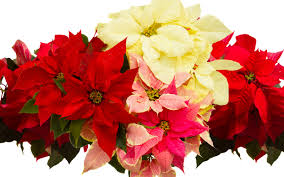 happy national poinsettia day 10 festive facts about the iconic