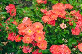 drift roses coral drift