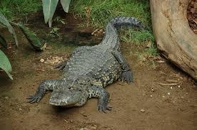 morelet u0027s crocodile wikipedia