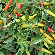 peppers archives bonnie plants