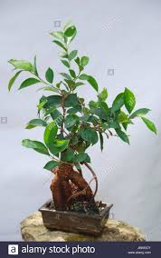 ficeae stock photos u0026 ficeae stock images alamy