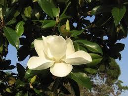 magnolia grandiflora southern magnolia to southeastern