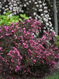 14 flowering shrubs for sun hgtv