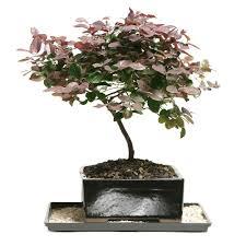 flowering bonsai indoor plants garden plants u0026 flowers the