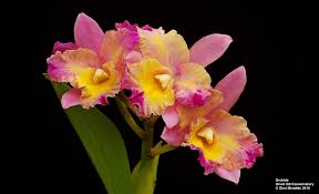cattleya orchids cattleya orchids pentax slr talk forum digital photography review