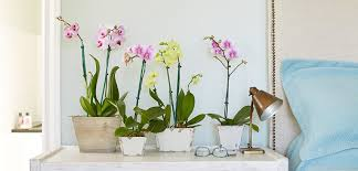 moth orchid orchid phalaenopsis costa farms