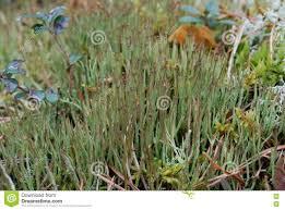 hornworts are a group of bryophytes stock photo image 70331842