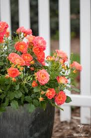 easy elegance coral cove rose