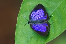 Blue And Green Butterfly - butterflies of singapore may 15 2014