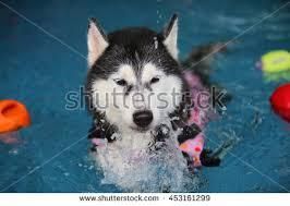 free siberian husky wear life jacket in swimming pool dog