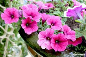 petunia flowers petunia flowers how to plant grow and care from seeds plantopedia