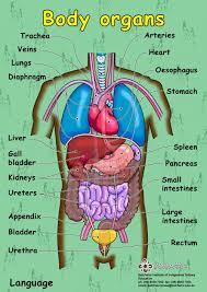 Human Anatomy Torso Diagram Body System Www Uocodac Com Part 12