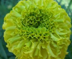 Marigolds Shade by Russian Marigold Seeds Big Lime Green Colour Unusual Flowers In