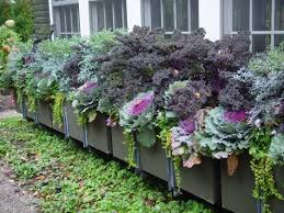 flowering kale the coolest cool season ornamental here by design