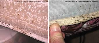 light bed bug infestation bed bugs entomology