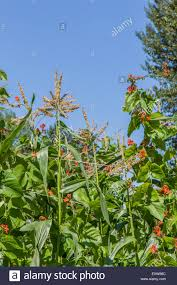 scarlet runner beans growing up corn stalks as companion plants