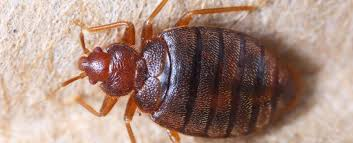How To Get Rid Of Bed Bugs At Home How To Find Bed Bugs And Get Rid Of Them Take Care Termite