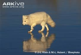 arctic fox tails 4 39 waters west fly fishing outfitters arkive blog 2012 march