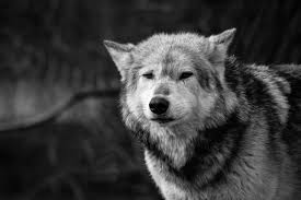 black and white wolf neave flickr
