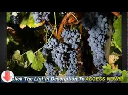 Grape Trellis For Sale Your Trellis System Is Critical For Successfully Growing Grape