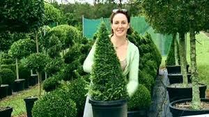English Box Topiary - gardening australia fact sheet topiary